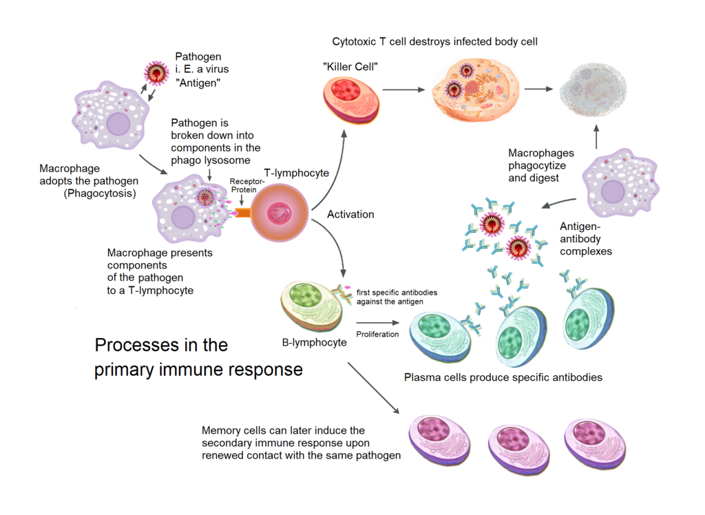 diagram primary immune response